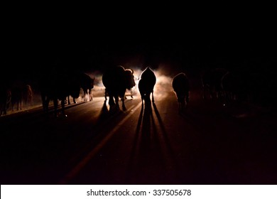 One night while leaving Elk Island National Park, the road was blocked by a herd of bison. The headlights of cars in the fog and the huge silhouettes of the bison created an impressive picture.