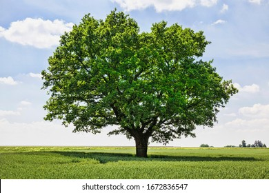 one oak tree growing in a field with agricultural plants, a field for growing food