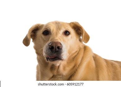 One old, happy, yellow labrador in studio setting