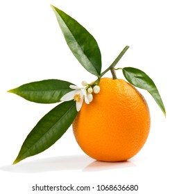One orange fruit on a blossoming branch of orange tree, isolated white background.