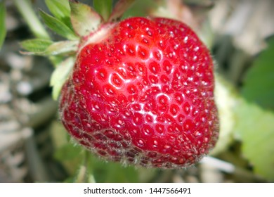 one organic strawberries field natural fruits berries close-up