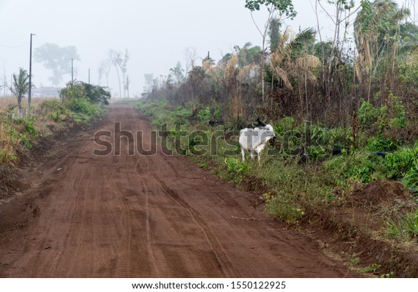 One ox on dirt road of farm with smoke from burning in the background after deforestation of the Amazon rainforest. Concept of environment, agriculture, global warming, climate change and heat waves.