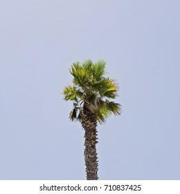 The one palm on the blue sky background, square Palm Sunday Hosanna Holy Week