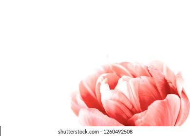 One peony flowering tulip in trendy coral color. Minimal styled concept card. Color of 2019. Isolated on white.