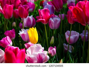 One perfect yellow tulip flower brilliantly sunlit by a beam of natural light, in a muti-color tulip bed with red, blue, pink, and white tulips