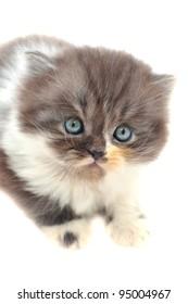 One persian kitten over white background.