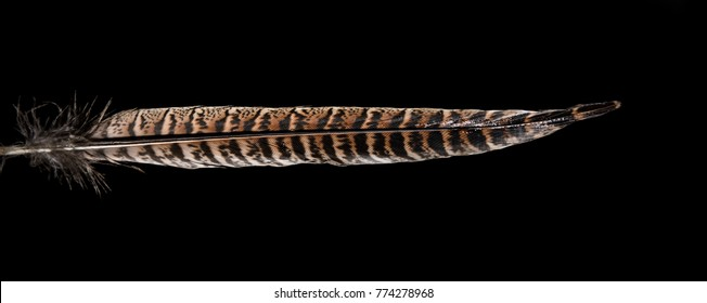One pheasant tail feather isolated on black