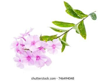 One phlox flower isolated on white background. Studio Photo