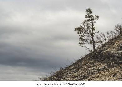 One pine on the hillside near the Zhiguli Mountains. Reserve Samara region Russia