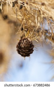 One pinecone hanging in a spruce during autumn