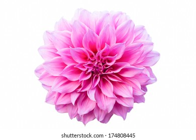 One Pink Chrysanthemum Flower Isolated on White  background