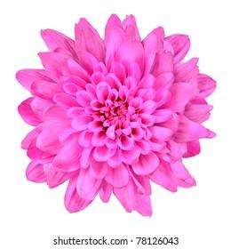 Pink dalia flower images stock photos vectors shutterstock one pink chrysanthemum flower isolated over white background beautiful dahlia flowerhead macro mightylinksfo Images