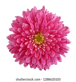 one pink chrysanthemum flower, top view, isolated on white background.