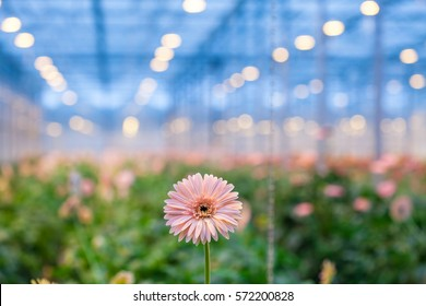 One pink gerbera flower against a blurred background greenhouses. Production and cultivation flowers.Gerbera plantation. Transvaal Daisy.