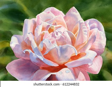 One Pink and peach colored rose blossom. watercolor painting of a rose with a dark background hand painted.