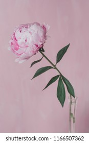 One pink peony stands in a glass vase on a pink background. A minimalistic photo.
