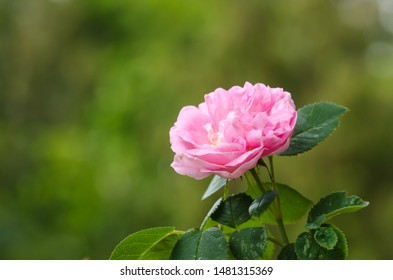 One pink rose flower head close up by a natural green background