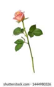 One pink rose on a long stalk with green leaves, isolated on a white background, side view