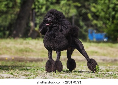 One poodle breed dog with black hair with grooming standing outdoors on green grass