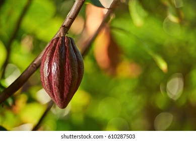 One pretty clean red cocoa pod hang on tree branch