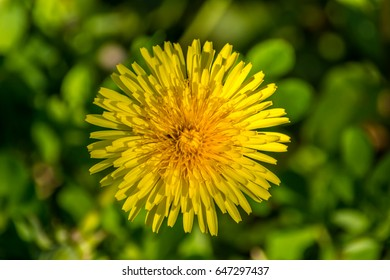 One pretty dandelion flower (genus Taraxacum, most likely Taraxacum officinale) photographed in spring in a park against a blurred green background.