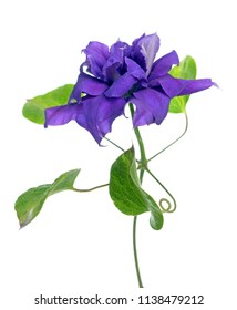 one purple clematis isolate on white