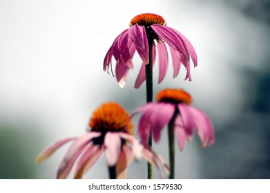 One purple coneflower rising above the rest