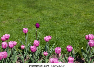 One purple tulip growing among a group of pink tulips with a background of green grass in spring.