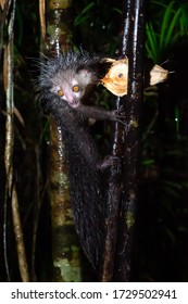 One rare, nocturnal aye-aye lemur with a coconut