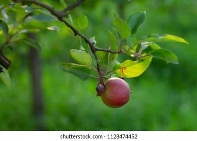 One red apple in garden