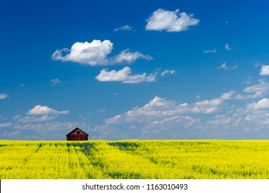One red barn in a yellow feild of canola in bloom with blue sky and fluffy clouds in the Canadian prairies in Alberta, Canada.