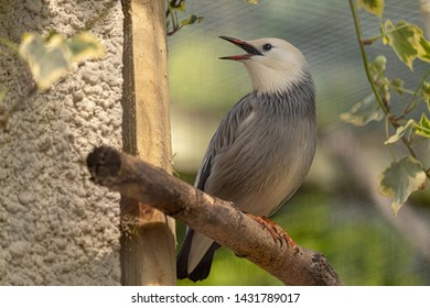 One Red Billed Starling on a branch singing with beak and eye open, feet showing. White feathers on its head with silver/grey feathers on its body. No people, sunny dry day. Soft focus behind.