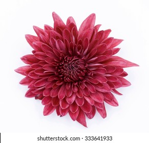 One Red Chrysanthemum Flower Isolated over White Background