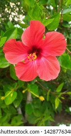 One red hibiscus flower closeup