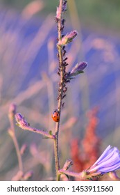 One red Ladybug   (  Coccinellidae  )  on plant with many aphids and copy space