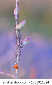 One red Ladybug   (  Coccinellidae  )  on plant with many aphids and copy space on right side