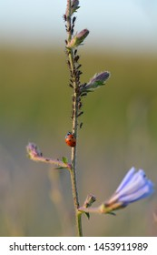 One red Ladybug   (  Coccinellidae  )  on plant with many aphids , copy space and green background