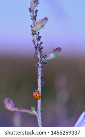 One red Ladybug   (  Coccinellidae  )  on plant with many aphids and copy space,  in the evening