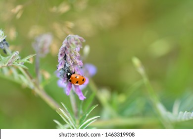 One red Ladybug   (  Coccinellidae  )  on plant with  aphids and copy space