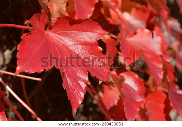 One red leaf on background of leaves in the last autumn sun