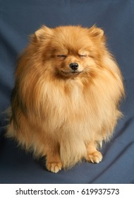 One red Pomeranian spitz sits on gray background with closed eyes