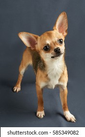 One red puppy of Chihuahua with slightly tilted head stands on gray textile background