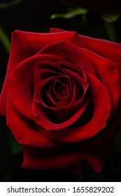 One red rose flower in darkness, vertical