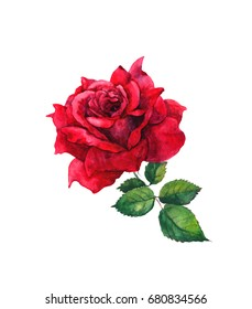 One red rose flower. Isolated watercolor painting