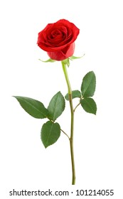 One red rose on a white background.