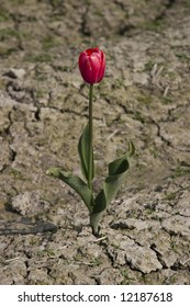 One red tulip growing in the clay.