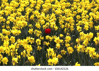 One red tulip in the middle of all yellow daffodils, a concept of standing out, unique or being different