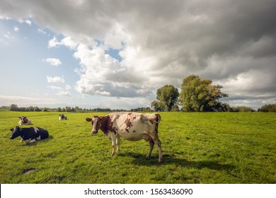 One red-and-white cow poses in front of the photographer in the Dutch meadow. The other cows are lazy and ruminate. Dark clouds appear in the meantime in the blue sky and a rain shower threatens.