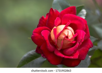 One redrose in the garden is so  beautiful