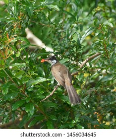 One Red-whiskered Bullbul perched on a branch of tree.